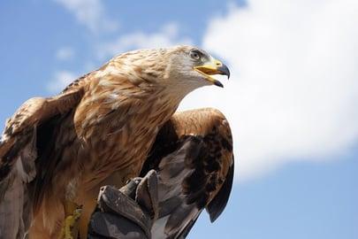 golden-eagle-818809__340.jpg