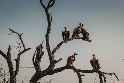 vultures-1081751__340.jpg